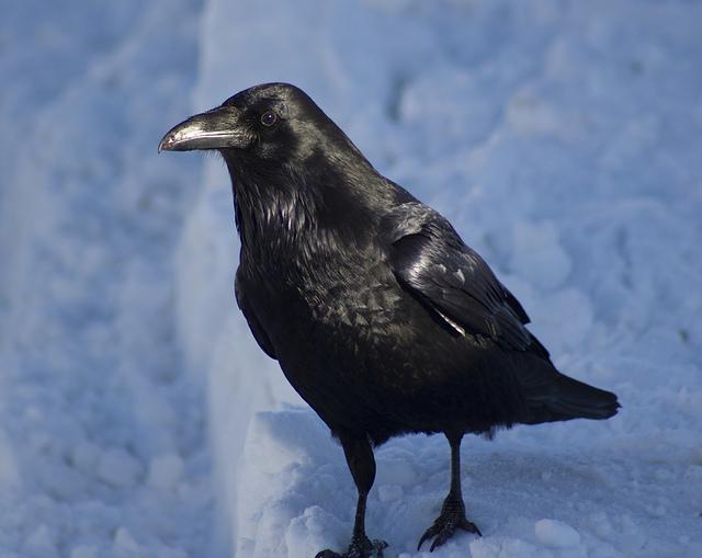 large blackbirds