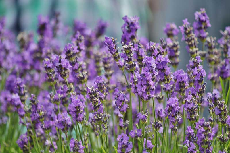 lavender-france
